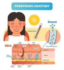Perspiring Anatomical Skin Cross Section Vector Illustration Diagram with Sweat Secreting Cells.