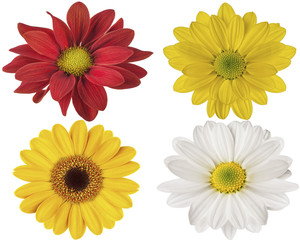 red yellow and white flowers on a white isolated background for design