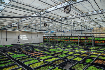 Growing of seedlings of ornamental plants  in nursery in modern hydroponic greenhouse with climate control system