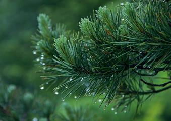 Green Needles Fur-trees close-up