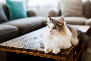 Portrait Of Cute Cat Lying On Table At Living Room