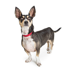 Adult Black and Tan Chihuahua Dog Looking Up
