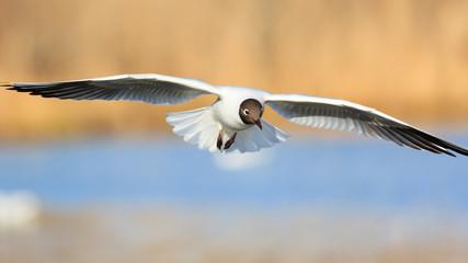 Black-headed gull bird in flight at lake
