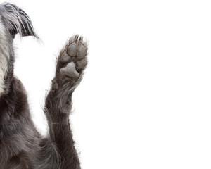 Dog Raising Paw Cropped Closeup