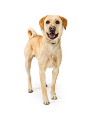 Friendly Happy Labrador Retriever Dog on White