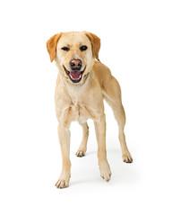 Labrador Retriever Crossbreed DOg With Funny Expression
