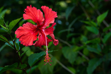 Portrait of a red hibiscus flower against a green background