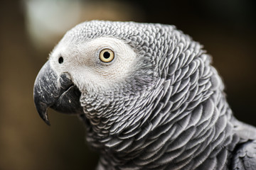 Close up of an African Grey Parrot