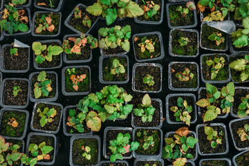 Strawberry seedlings in plastic boxes, top view, in modern hydroponic greenhouse for cultivation of flowers and ornamental plants