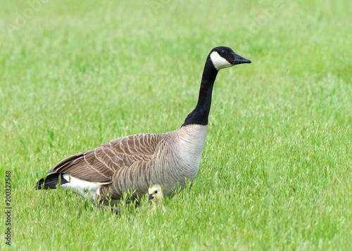 canada goose natural predator