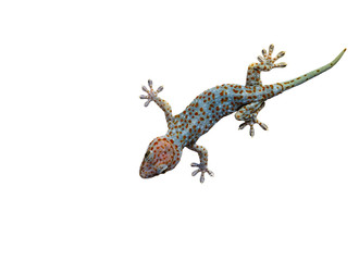 Gecko on wall top view isolated on white background with clipping path.