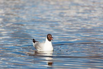 Black-headed gull bird swimming at lake