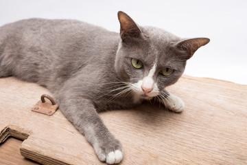 grey cat animal
