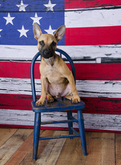 French Bulldog Puppy Sitting on Blue Chair with American Flag Background
