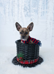 Tiny Chihuahua with big ears in snowman hat & scarf