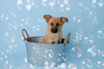 Fluffy Shepherd Puppy in Tub with bubbles