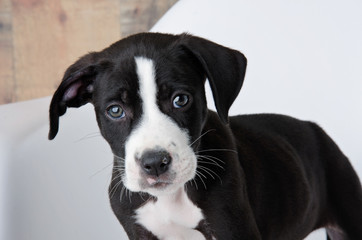 Adorable Black & White Pit Bull Mix Puppy