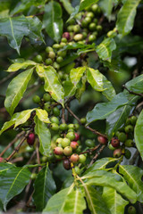 Coffee beans ripening on tree in North Vietnam,area of Dalat city