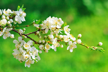 Blooming wild plum tree