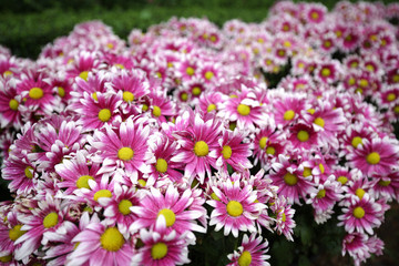 Pink fresh lovely blossom chrysanthymum with green leaves on wood walk in beautiful decorated garden