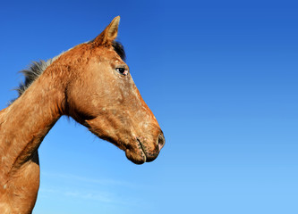 Portrait of a brown horse with blue sky in the background.