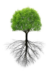 Green spring tree with a root isolated on white background.