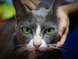 Portrait Of A Beautiful Chartreux Cat Close-up