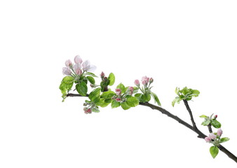Apple flowers blooming with branch isolated on white background, clipping path