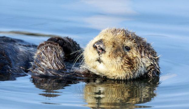 Curious Sea Otter (Enhydra lutris) floating in Santa Cruz Harbor. Santa Cruz, California, USA.