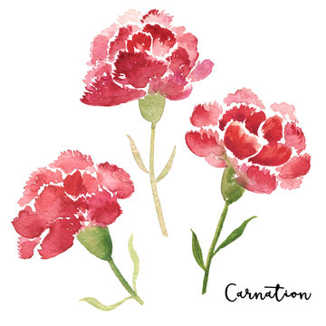 Three sketch style watercolor carnation flowers