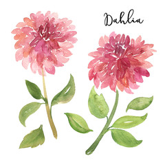 Two sketch style watercolor pink dahlia flowers