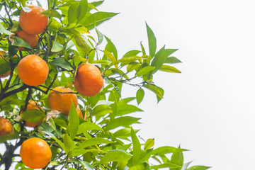 Ripe oranges fruit on a tree, close-up. Isolated