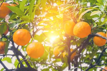 Orange tree in the sunlight