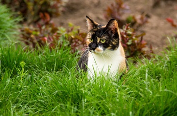 Three-color domestic cat in green grass. Cat is sitting in the fresh green grass. Colored cat. springtime