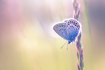 Nature close-up, sunset meadow and summer grass and beautiful butterfly