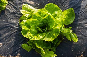 Butterhead Lettuce salad plantation - Organic green lettuce