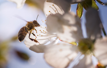 Bee on a gentle white flowers of cherry tree - prunus cerasus