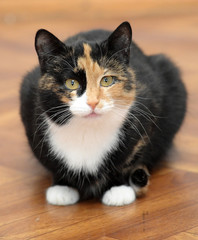 tricolor cat sitting on the floor