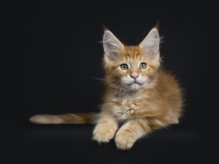 Cute red tabby Maine Coon kitten / cat laying down isolated on black background and looking beside camera