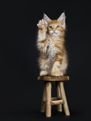 Cute red tabby Maine Coon kitten / cat sitting on wooden stool with paw in air like chinese good luck cat isolated on black background and looking at camera
