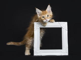 Cute red tabby Maine Coon kitten / cat standing on back paws holding up an empty white picture frame isolated on black background and looking at camera