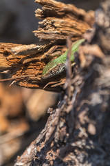 Green lizard in nature on the stinky stub in the spring sunny day.