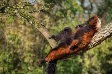 Brown Maki Lemur Monkey Chilling In The Sun On A Tree