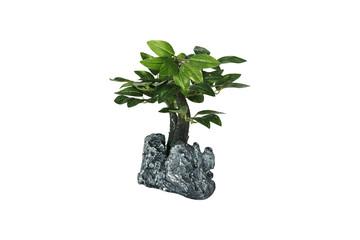 Miniature bonsai tree on white