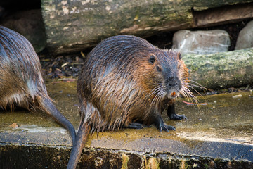 Beaver Rat Swimming Water Brown Animal Zoo