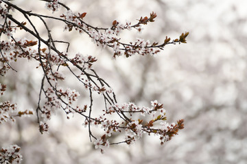 Delicate flowering branches of wild cherry. Natural background of the garden.
