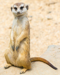 portrait of suricate in nature