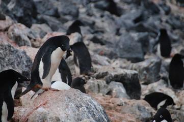 Adelie Penguins on Paulet Island