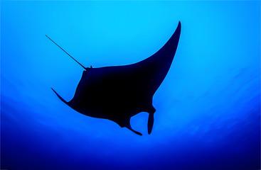 Underwater giant manta silhouette in sea depth. Manta birostris