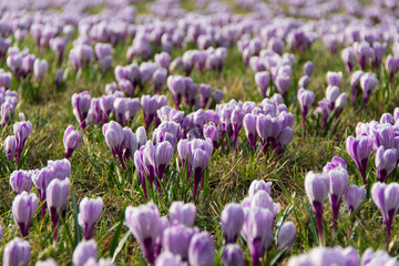 Crocus flowers blooming in spring time among the grass.